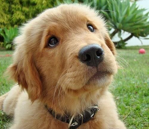 That Look Retriever Puppy Cute Dogs Golden Retriever Puppy