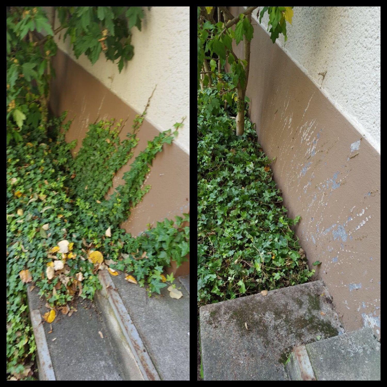 Gefahrliche Eindringlinge In Harmlos Grun Efeu Kletterpflanze Garten Pflanzenberatung Gartenexperte Koln Ber Unkraut Entfernen Pflanzen Kletterpflanzen
