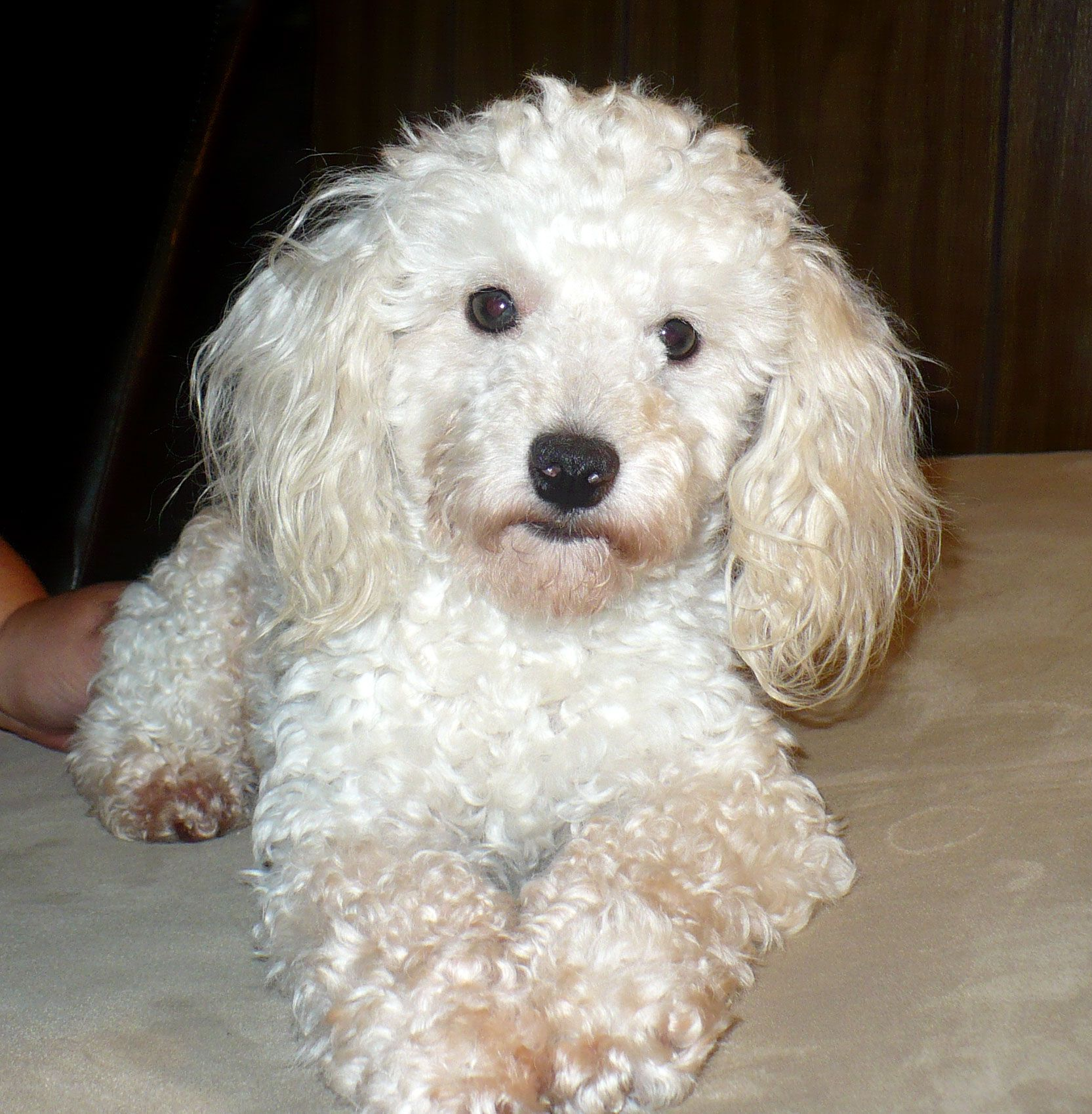White Toy Poodle Artic Warlord Is Our Offsite Stud He Is An