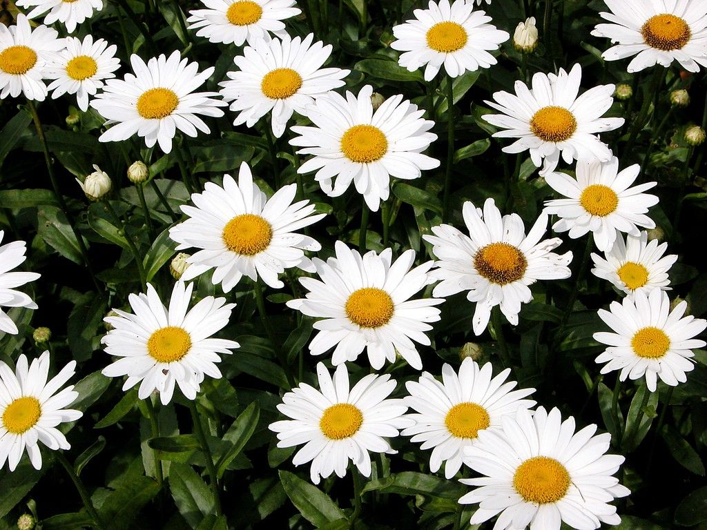 Shasta daisy flowers information on how to grow shasta daisy daisies flowers shasta daisy flowers information on how to grow shasta daisy izmirmasajfo
