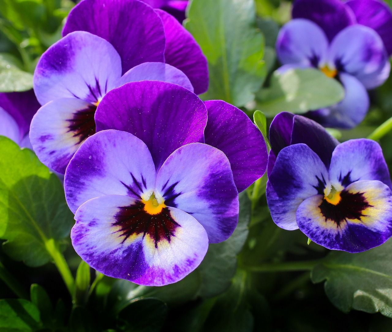 Pansy Flowers Plant Nature Spring Violet Blossom Pansies Flowers Pansies Flower Meanings