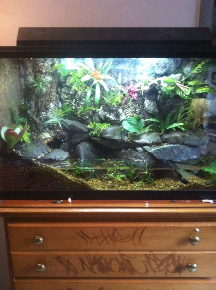 Anole and green tree frog vivarium terrariums pet for Fish tank frogs