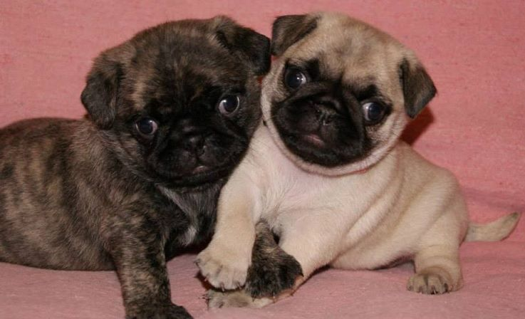 Cute Brindle Fawn Pug Puppies Pugs Funny Baby Pugs Pug Puppies
