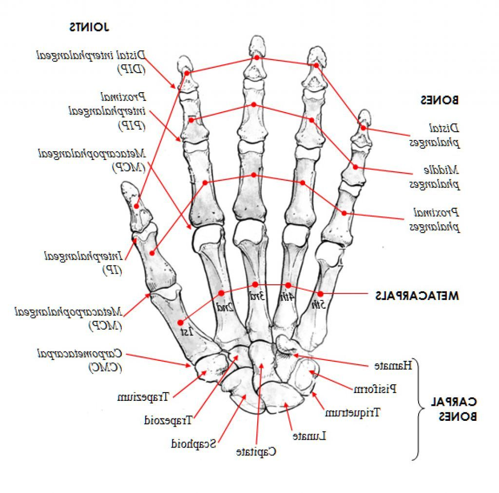Httpanatomybody101wp Contentuploads201511hand Bones