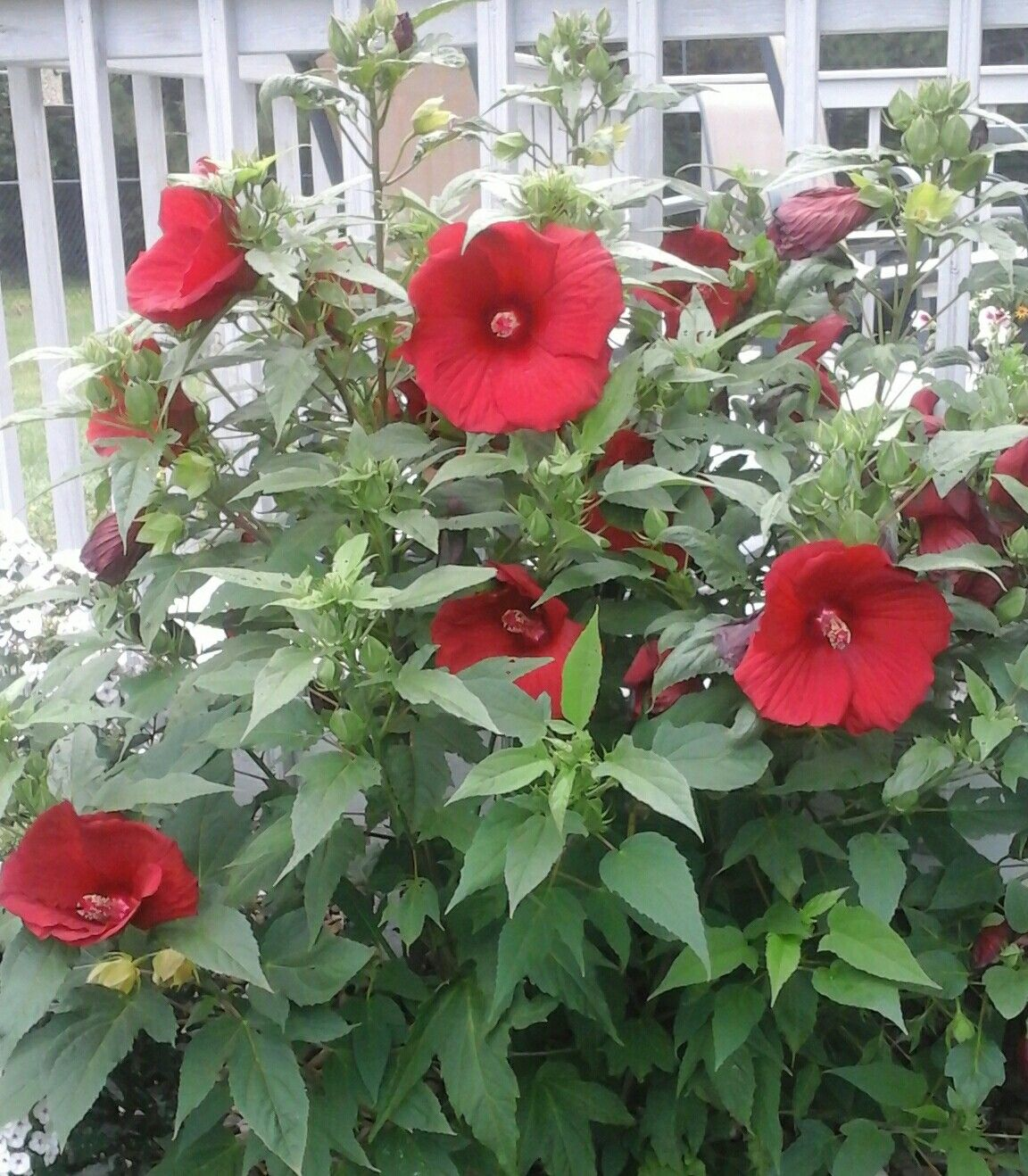 Our Beautiful Hibiscus In Full Bloom We Live In Wisconsin And I Leave This Planted In The Ground Year Round For Winter We Cag Backyard Plants Plants Hibiscus