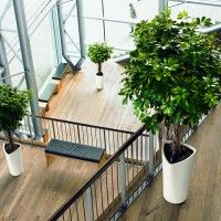 ExecuFlora U2013 Large Office Plants : Supplier Of Commercial And Industrial  Indoor Plants.