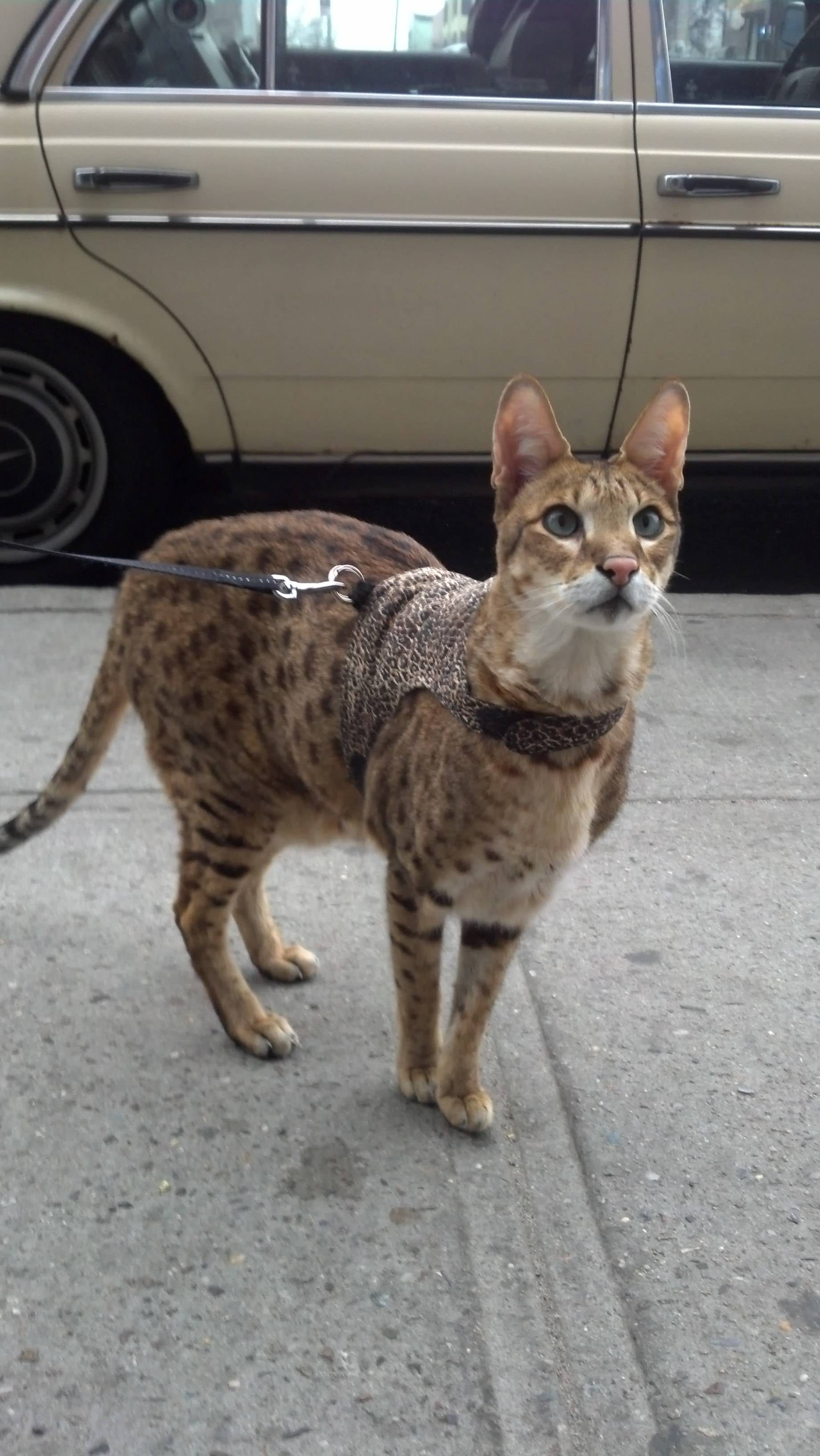 I Saw A Giant Cat On A Leash Today Cat Leash Serval Cats Pretty Cats