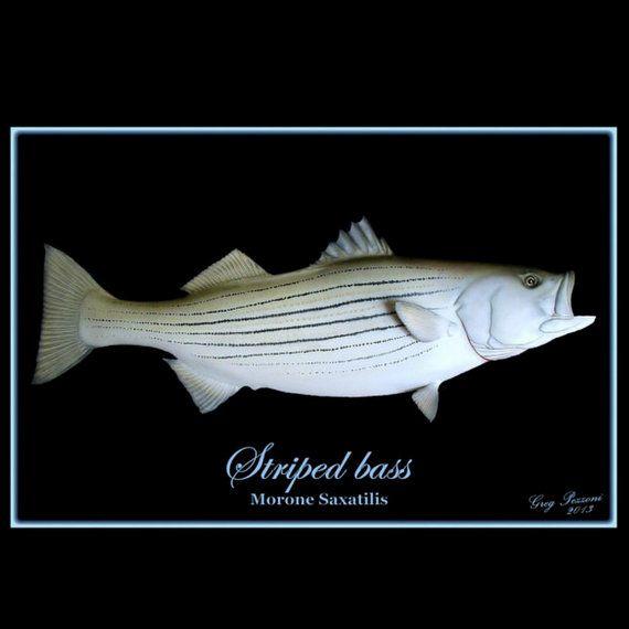 Striped Bass Fish Art Fishing Art Coastal Decor Saltwater Fish Art