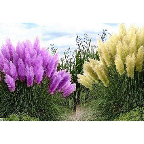 beet mit pampasgras, lila pampasgras (cortaderia selloana) / ziergras / ca. 50 samen, Design ideen