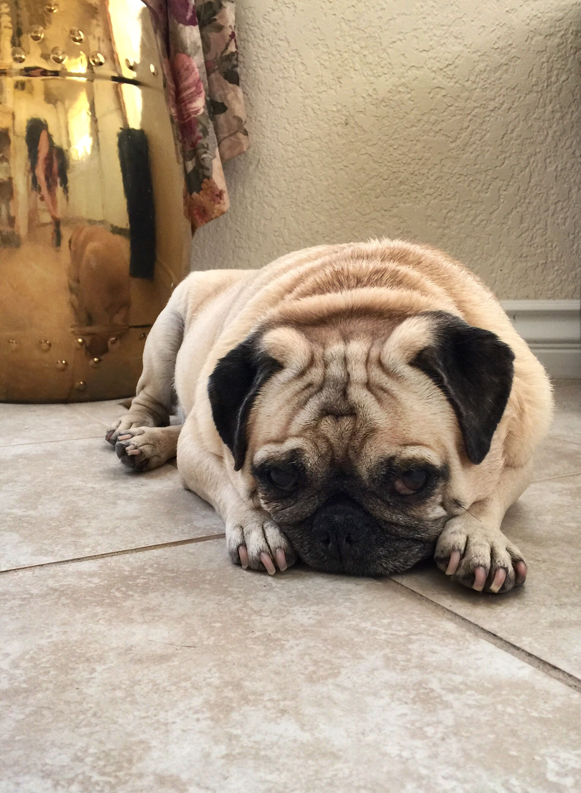 When Your Mom Calls You Chinese Pug Still Life Pugsleyluigi