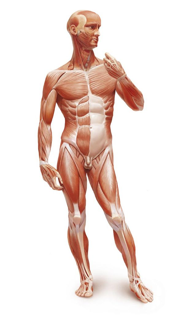 Muscle Man Anatomical Illustration By Marcin Oleksak The Muscles