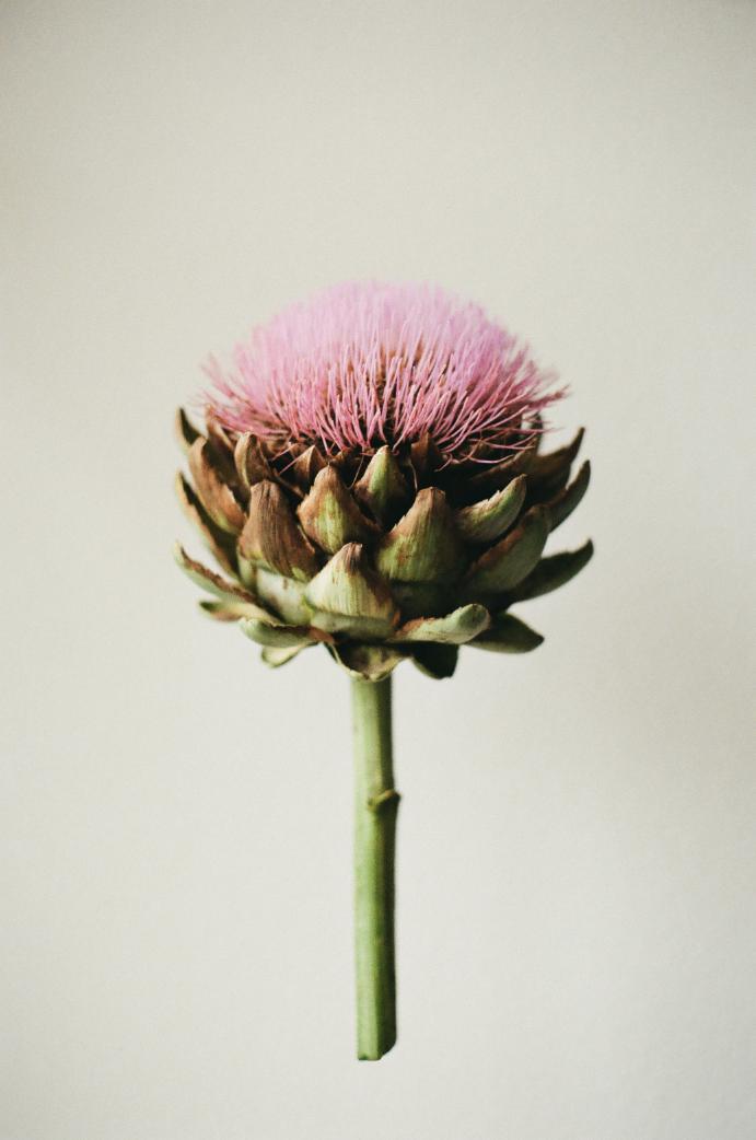 Artichaut © soso,nikki // anaïs krebs // 2013