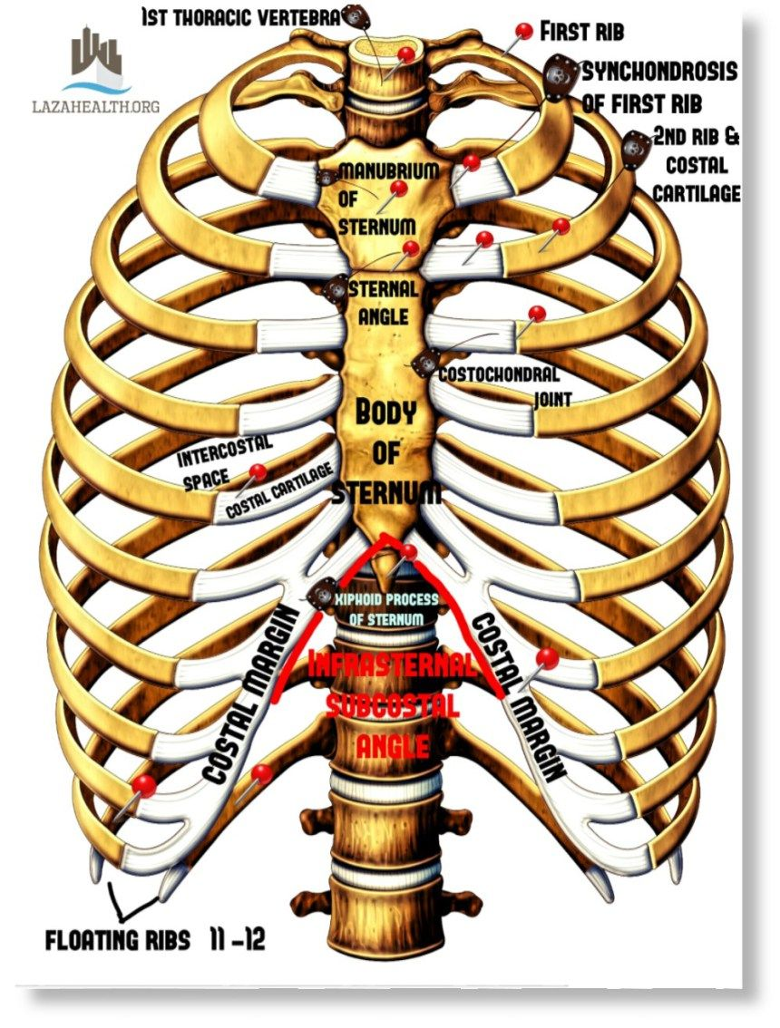 Anatomy of the Thorax Part 1: Thoracic Skeleton (source: Moore ...