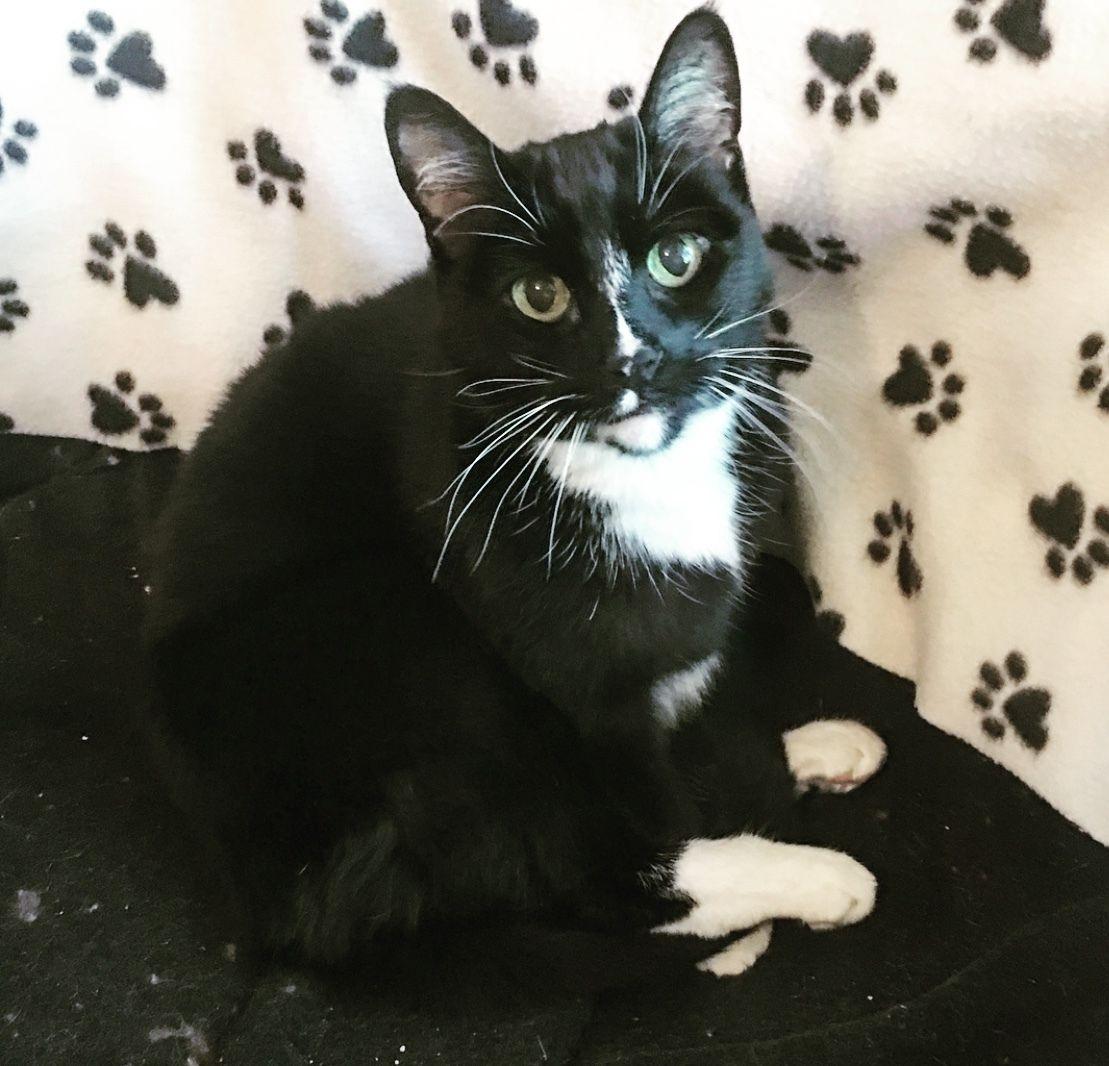 Adopt Sushi On Petfinder Help Homeless Pets Animal Advocacy Cat Adoption