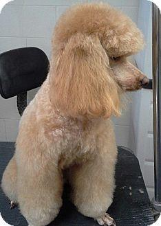 Cincinnati Oh Miniature Poodle Mix Meet Gram A Dog For