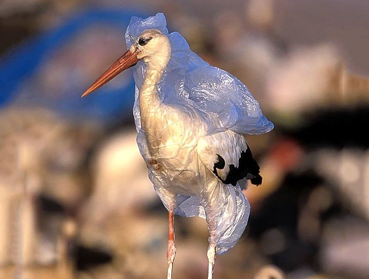 Bird engulfed in plastic from ocean debris.  Please click VISIT to view many more pictures of how we are destroying our planet.