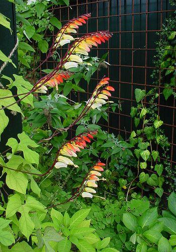 Spécialiste plantes grimpantes à Tonnay-charente en Charente ...