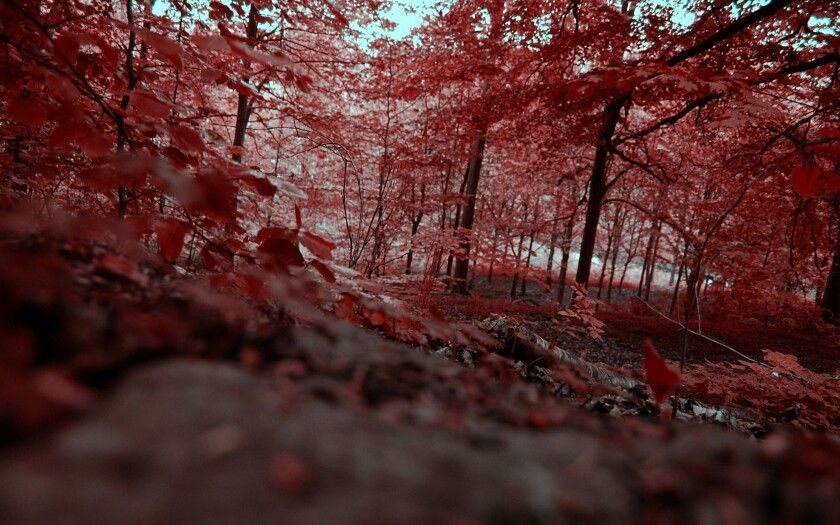 Red forest in Pripyat( Ukraine ) The Most Unique and Mysterious Forests in the World
