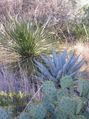 Southwest Evergreens Agaves Evergreen Plants Landscaping