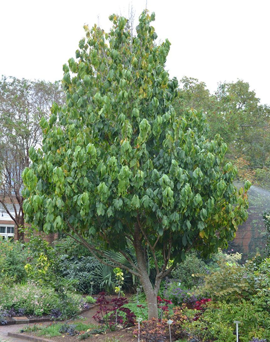 backyard garden with pawpaw tree backyard yards and deciduous trees