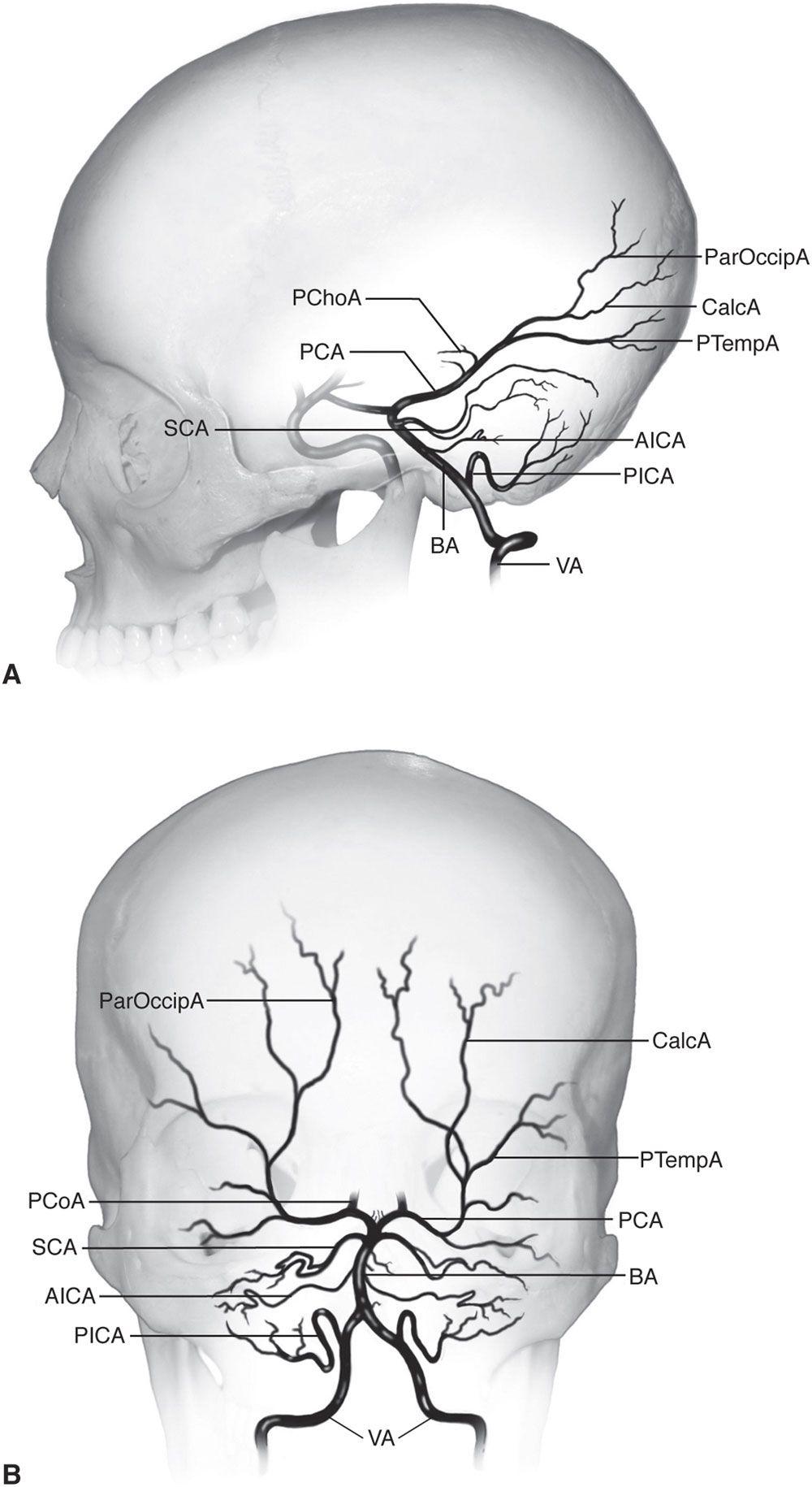 Pin by ROBERT SKONE on Anatomía fisiología Humana | Pinterest ...