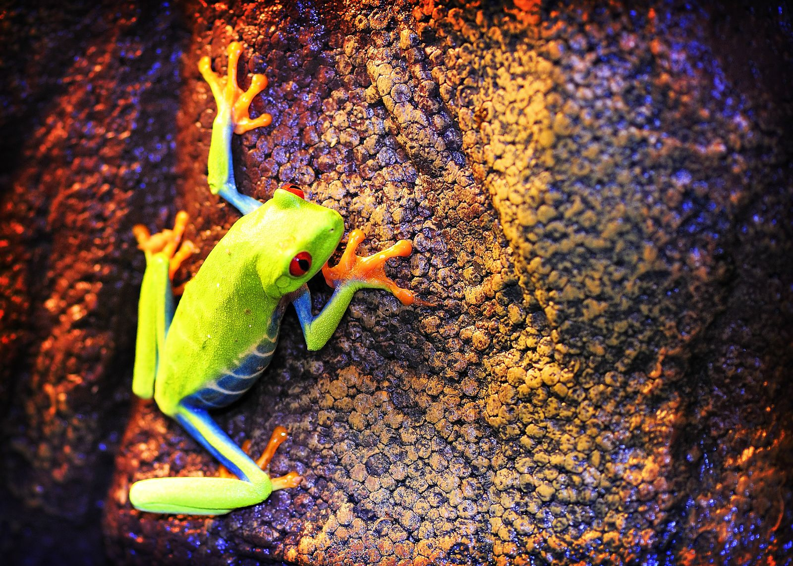 Red-eyed tree frog at Northampton Reptile Centre - I love their page!