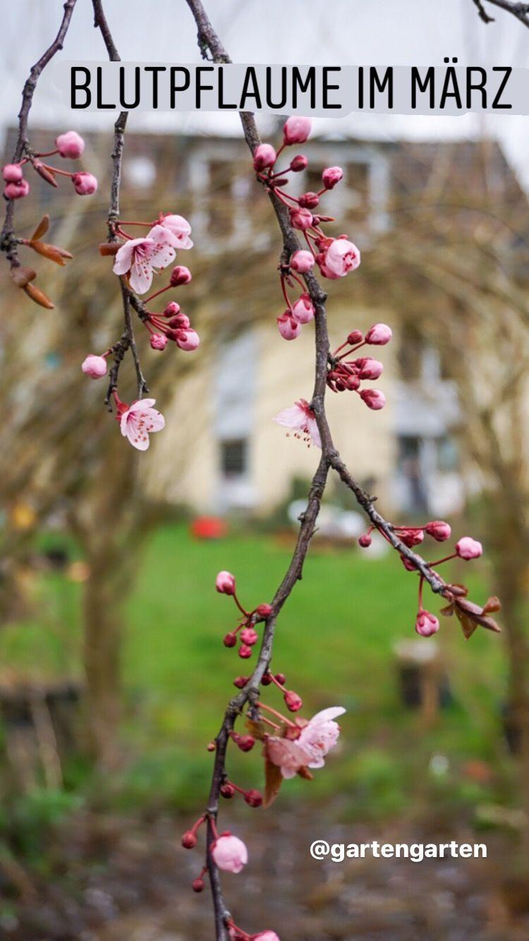 Die Blutpflaume Bluht Balkon Gemuse Garten In Baden Baden Blutpflaume Garten Pflaume