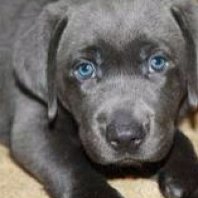 Charcoal Lab Love The Blue Eyes Lab Puppies Puppies And
