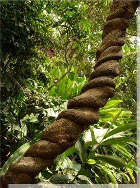 liane ayahuasca iquitos peru peru pinterest iquitos and peru