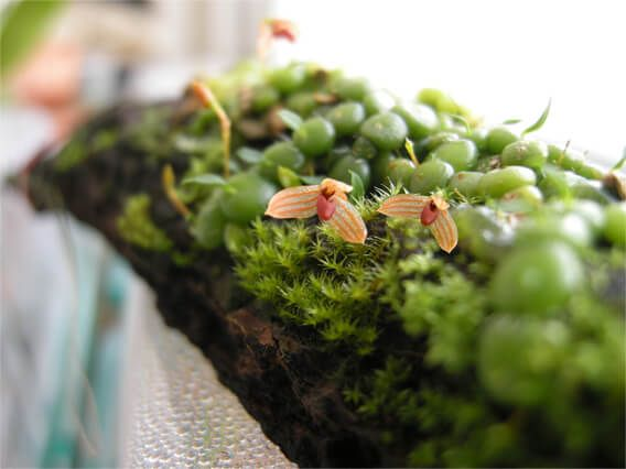 Top 10 Miniature Orchids for Small Spaces is part of Miniature orchids, Miniature plants, Small terrarium, Orchids, Orchid plants, Indoor orchids - Running out of room for your plants  These miniature orchids are perfect for collectors with limited space
