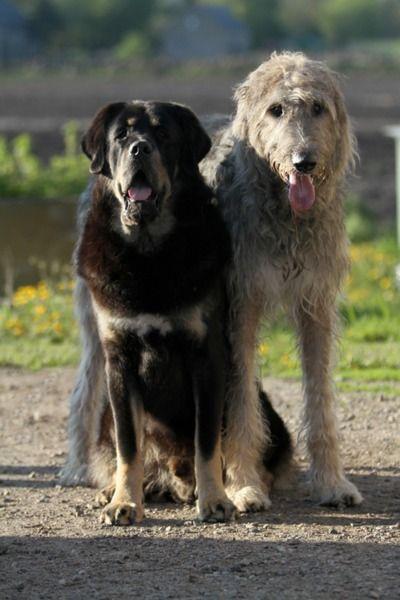 Tibetan Mastiff Left And Irish Wolfhound Right Large Dog