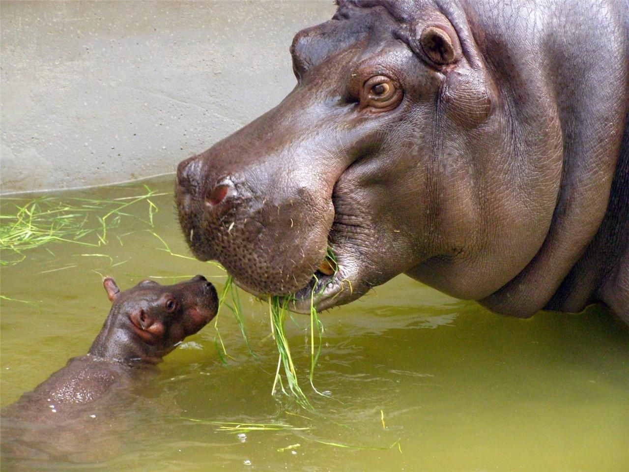 Baby hippo with mother glossy poster picture photo hippopotamus