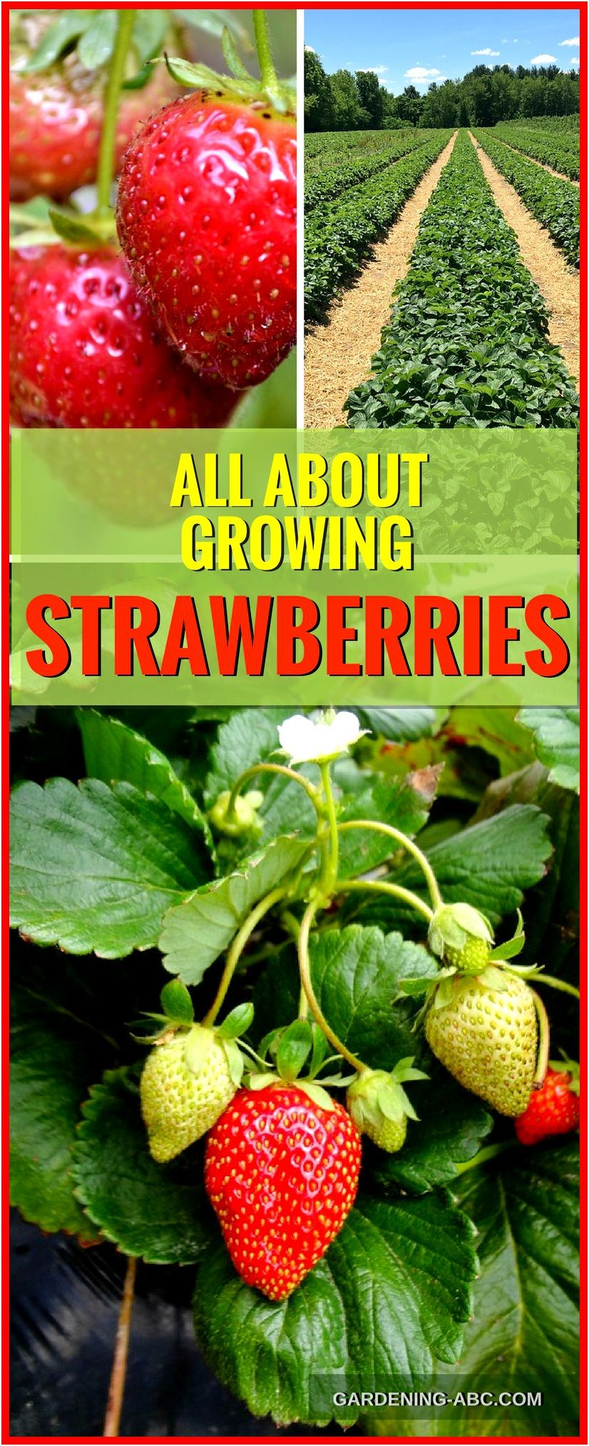 How To Grow Strawberry Plants: Strawberry Growing In A Nutshell