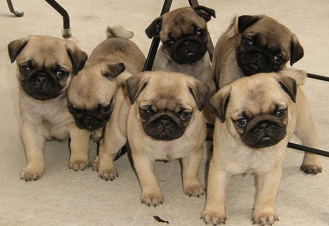6 Pack Of Pug Puppies Cute Animals Pug Puppies Baby Pugs