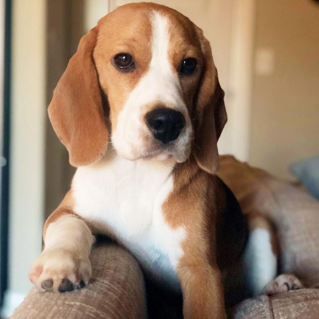 Determine Even More Info On Beagles Look Into Our Website Dog