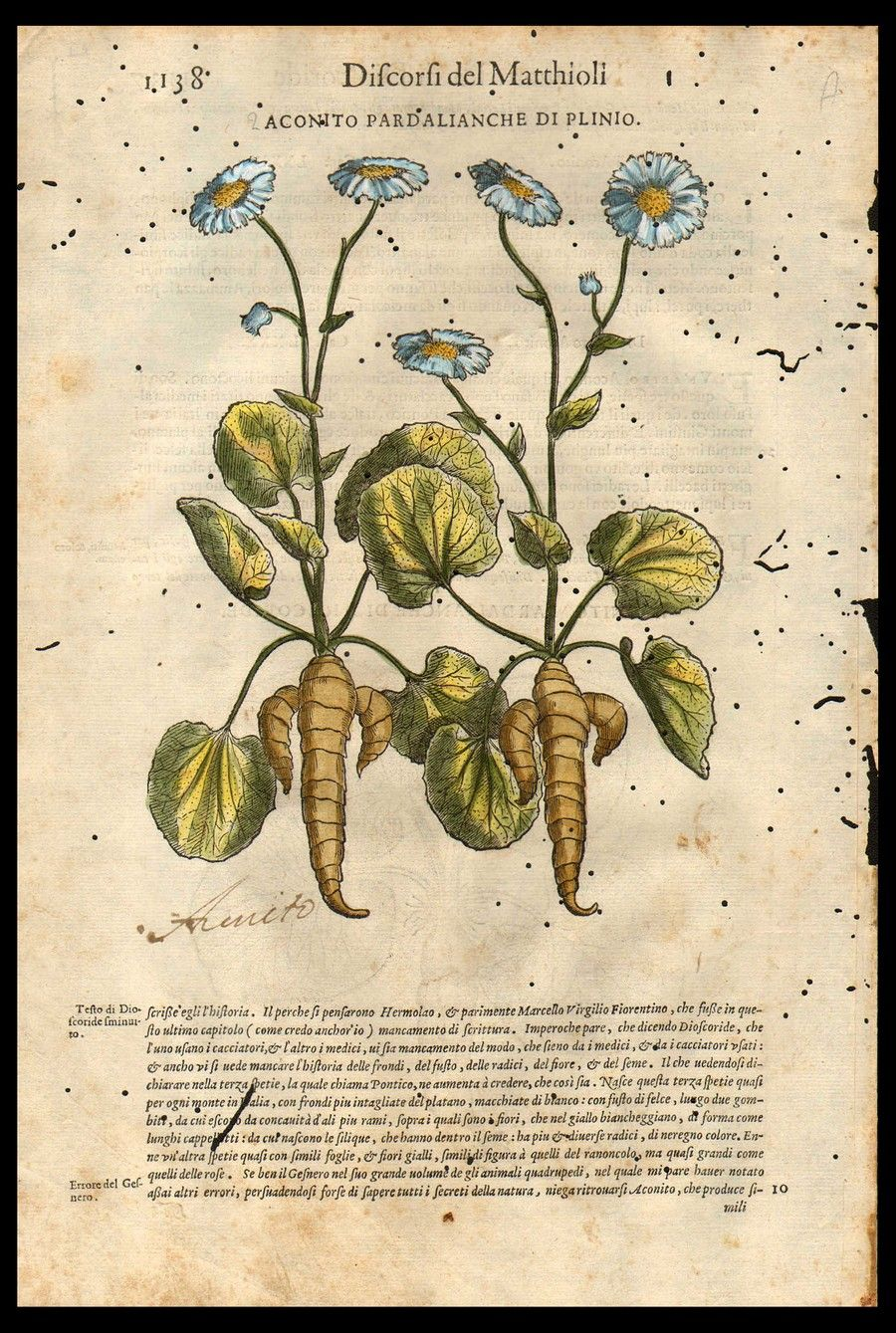 Acconito Botanical Drawings Fauna Illustration Plant Illustration