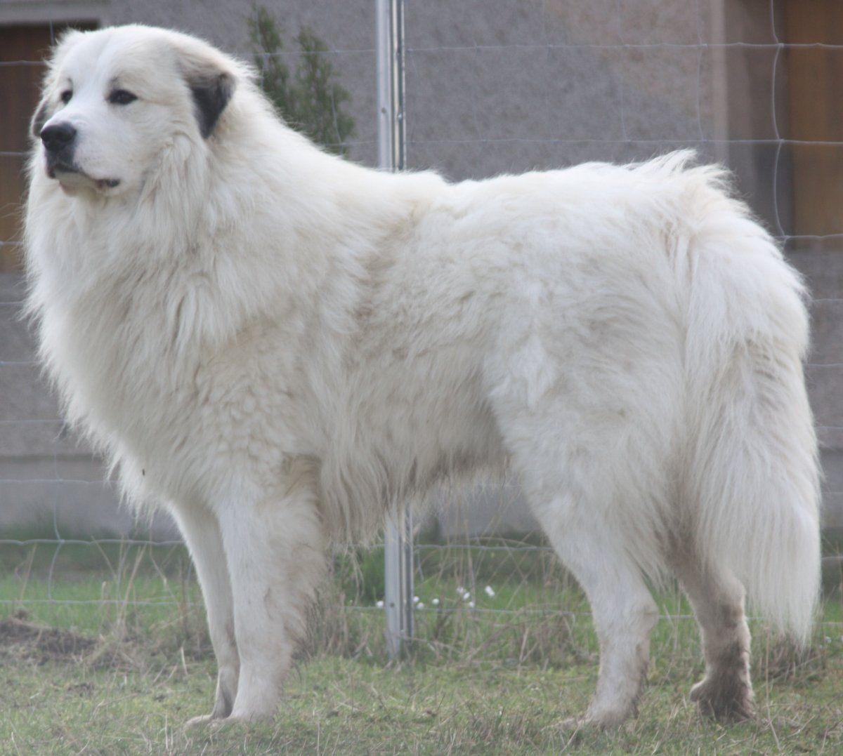 Pyrenaenberghunde Von Ehrenberger Hof Pyrenaenberghunde Pyrenaenberghunde Pyrenaen Hund Niedliche Hunde Hunde