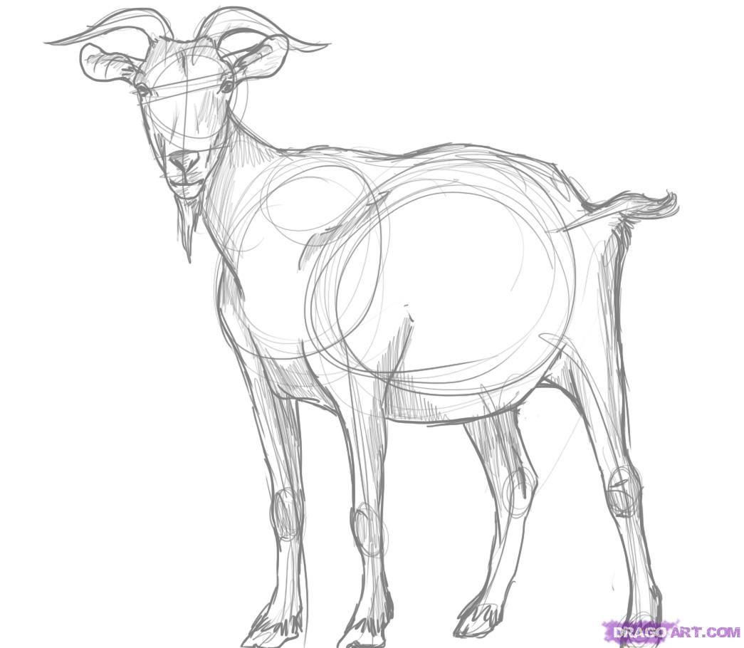 how to draw a billy goat step 5 | Cards | Pinterest | Goats ...