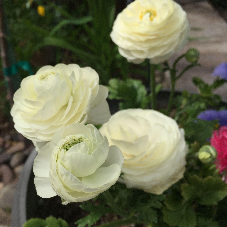 Order Ranunculales Family Ranunculaceae Genus Ranunculus Pretty Flowers Flowers Beautiful Flowers