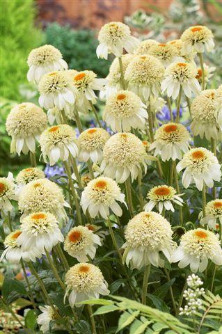 Coneflower (Echinacea 'Milkshake')