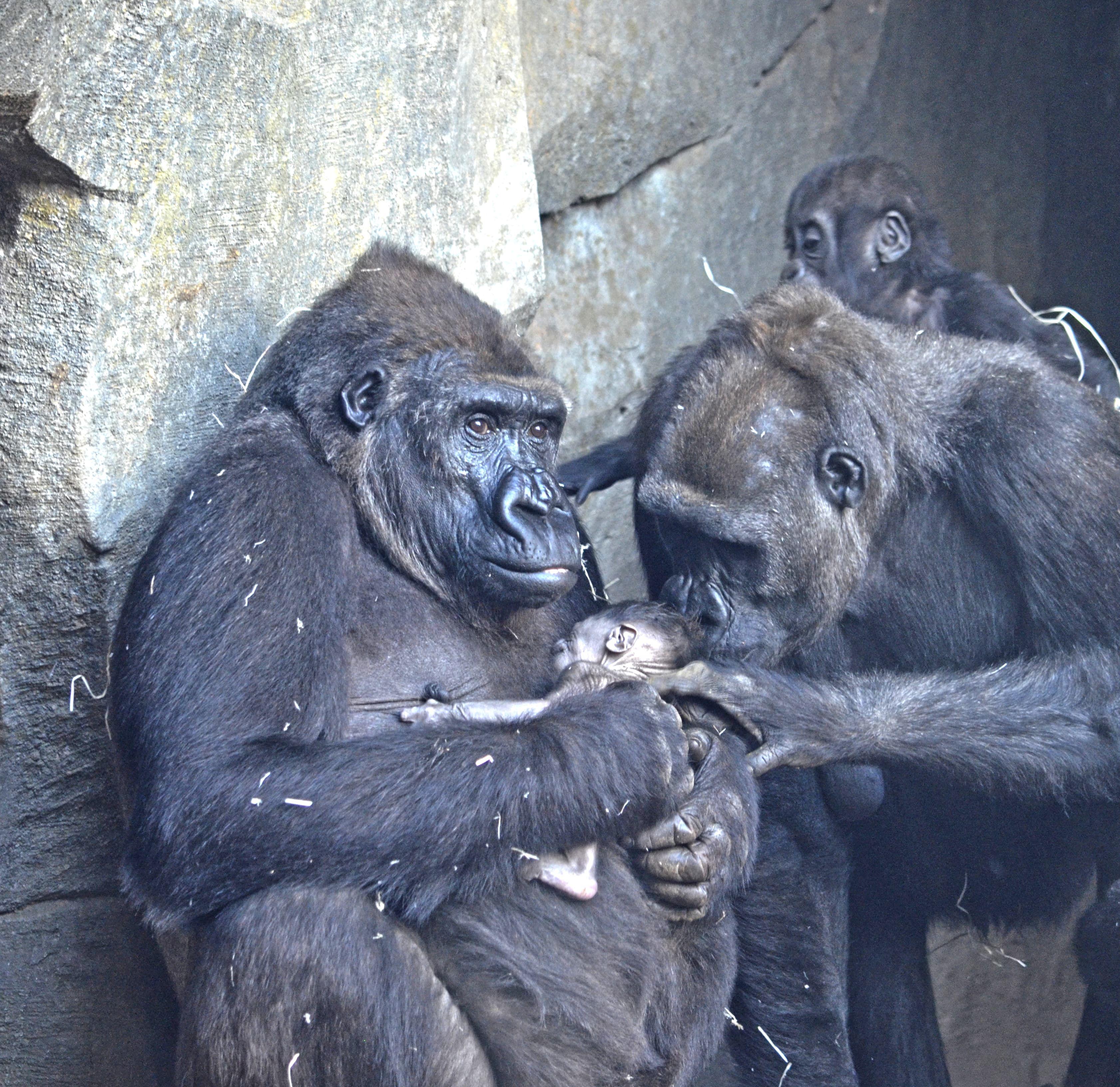 91d0d9d68c0a Nace el cuarto gorila en BIOPARC Valencia. El día 8 de marzo