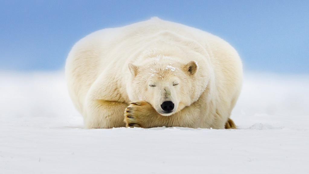 Polar bear on a barrier island in the Beaufort Sea, Arctic National Wildlife Refuge, Alaska (© Patrick Endres/plainpicture)