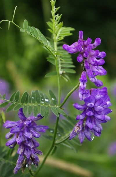 Wildflower Cow Vetch A Member Of The Pea Family It Has Branched Twisting Tendrils Vetch Means I Cling To Thee Wild Flowers Wild Flower Meadow Wild Plants