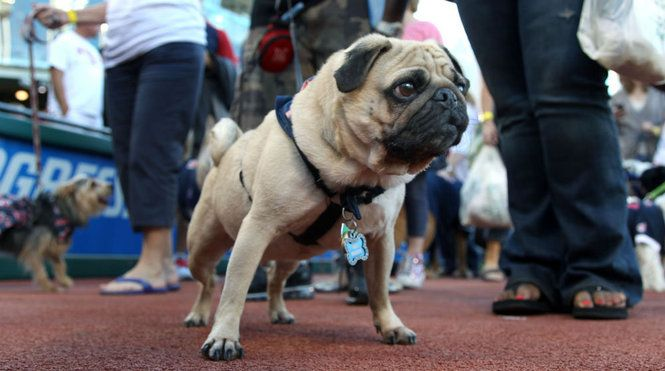 It was Puppypalooza at Progressive Field last night. Mr. Snubbz was one of the dogs in attendance. (Photo by Chuck Crow, The Plain Dealer)