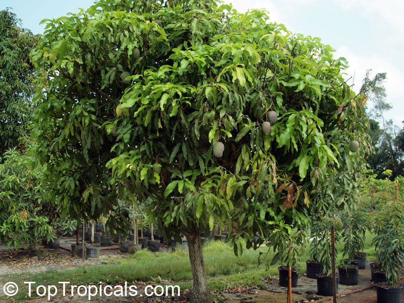Attractive Mangifera indica - Julie Mango (Dwarf) compact, dwarf tree. This  WT98