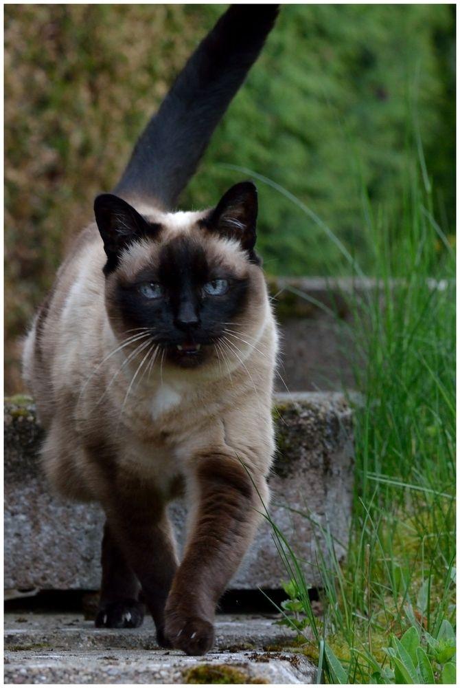 Crystaleye Riverclan Senior Warrior Very Stern And Impatient With Kits And Paws But Very Loyal And Sticks To The Co Siamese Cats Cats Outside Tonkinese Cat