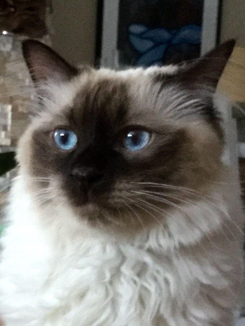YumYum my Balinese boy | cats siameses and Balineses | Pinterest ...