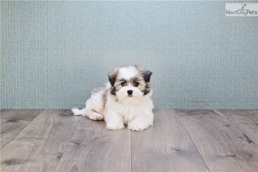 Havanese puppy for sale near columbus ohio a68b6031