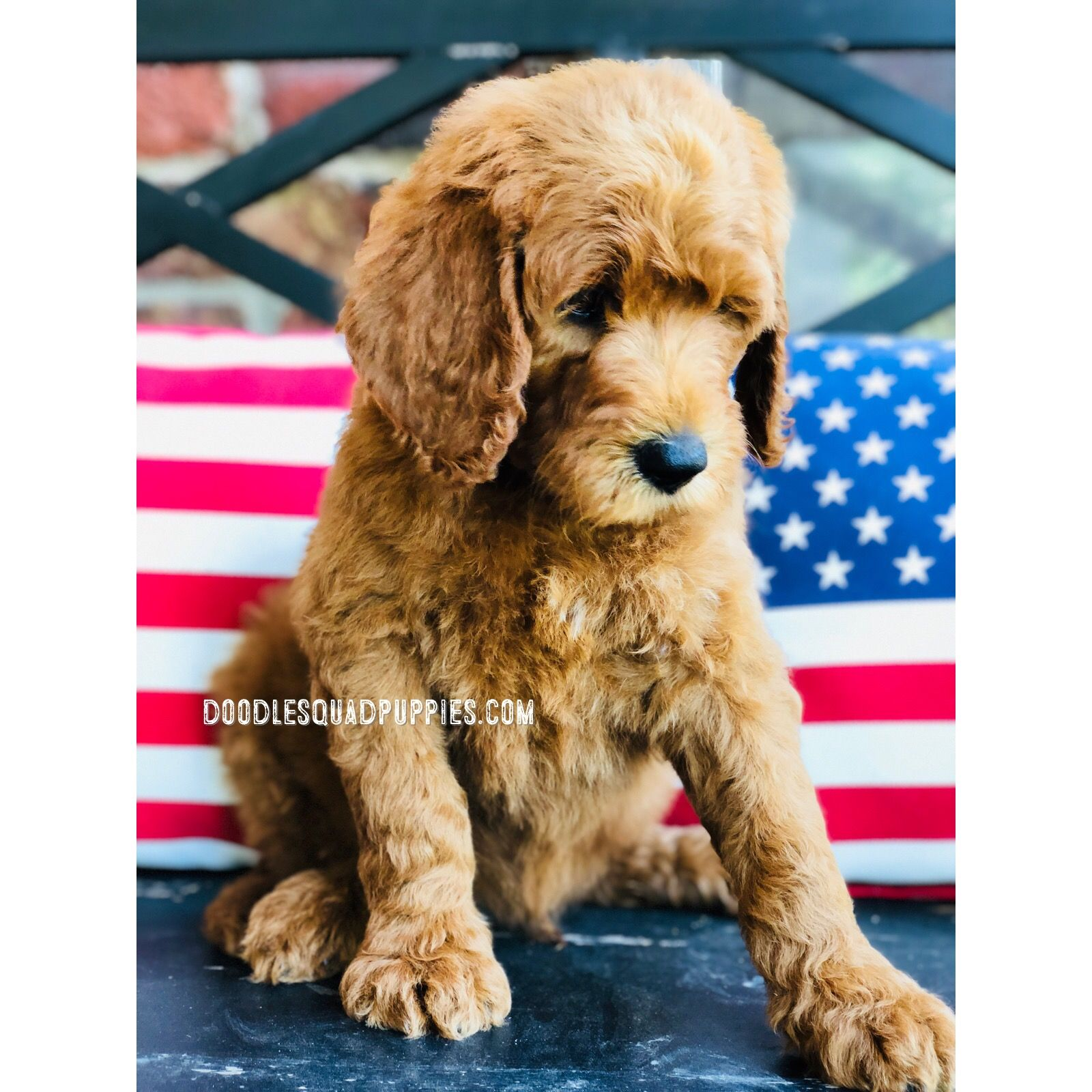 Goldendoodle Puppies With Images Goldendoodle Puppy Goldendoodle Puppy For Sale Puppies