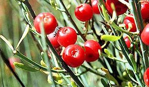 Ephedra sinica is a perennial horsetail plant which can grow